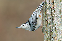 White-breasted Nuthatch (Sitta carolinensis) climbing down a tree trunk upside down