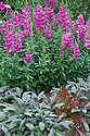 Antirrhinum majus (snapdragon), sage and red-leaf lettuce planted in the Potager at Clinton Lodge Garden, Fletching, East Sussex, early August