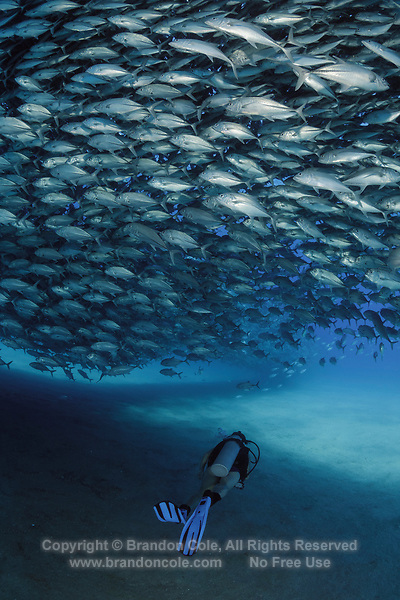 TW0593-D. Scuba diver (model released) swims under a huge spawning aggregation of Bigeye Jacks (Caranx sexfasciatus) comprised of many thousands of fish. Fish stocks have rebounded significantly with strict protection. Cabo Pulmo National Park. Baja, Mexico, Sea of Cortez, Pacific Ocean.<br /> Photo Copyright &copy; Brandon Cole. All rights reserved worldwide.  www.brandoncole.com
