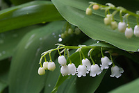 Convallaria majalis in flower in spring May, Lily of the valley