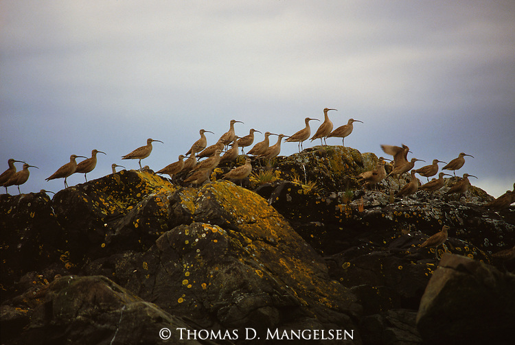 A flock of migrating whimbrels gather in a bay on Prince William Sound.