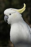 Geelkuifkakatoe (Cacatua galerita)