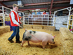 A pig for sale during the 54th annual Junior Livestock Auction during Sunday at the 80th Amador County Fair, Plymouth, Calif.<br /> .<br /> .<br /> .<br /> .<br /> #AmadorCountyFair, #1SmallCountyFair, #PlymouthCalifornia, #TourAmador, #VisitAmador