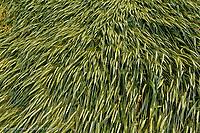 Flattened wheat crop, Palouse region of western Idaho.