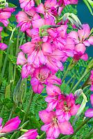Butterfly Gladiolus Hardy Byzantinus