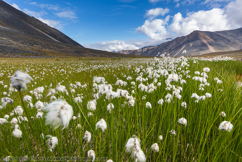 Alaska cotton grass in the tundra wetlands in Angiaak Pass, Gates of the Arctic National Park, Alaska