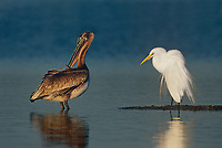 525006667h a wild great egret casmerodius alba in breeding plumage and a brown pelcan pelecanus occidentalis in winter plumage perch on a small sandbar in a large estuary in the ding darling national wildlife refuge ion sanibel island in florida