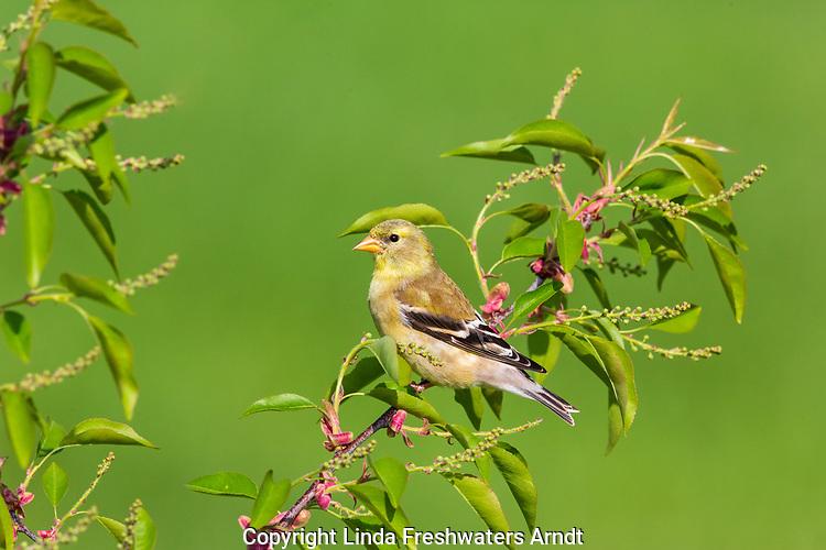 Female American goldfinch perched in a choke cherry tree.