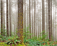Forest of second growth douglas firs and hemlock in Crabtree Valley in Linn County, Oregon