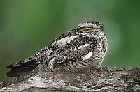 560450002 a wild common nighthawk chordelies minor perches on a mesquite tree limb in the rio grande valley of south texas united states