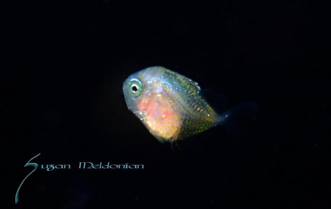 Atlantic bumper larva, Chloroscombrus chrysurus, is a game fish in the family, Carangidae,Bioluminescent, Pelagic marine life; planktonic creature, Fl, Gulfstream Current, South Atlantic Ocean.