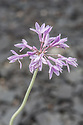 Tulbaghia violacea 'Silver Lace', early August. Commonly known as Society garlic.