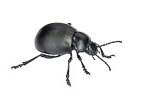 Bloody-nosed Beetle - Timarcha tenebricosa