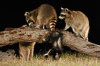 Northern Raccoon (Procyon lotor), adults at night among Striped Skunk (Mephitis mephitis), Fennessey Ranch, Refugio, Coastal Bend, Texas Coast, USA