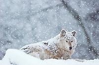 Gray Wolf (Canis lupus) in snowstorm.  Winter.  Western U.S..(Oregon Zoo, Portland, OR)