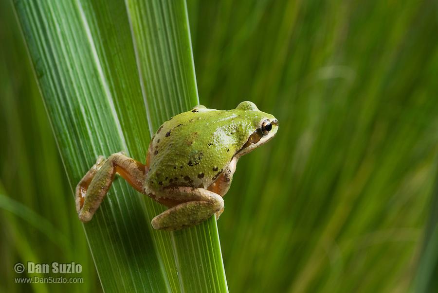 Pacific treefrog (Pacific chorus frog), Hyla regilla (Pseudacris regilla), on leaves of Douglas iris, Iris douglasiana