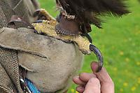 Talon of the female Golden Eagle close-up. (Aquila chrysaetos)....Copyright..John Eveson, Dinkling Green Farm, Whitewell, Clitheroe, Lancashire. BB7 3BN.01995 61280. 07973 482705.j.r.eveson@btinternet.com.www.johneveson.com