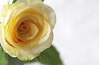 Yellow rose close-up in white back-ground