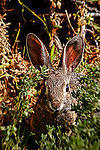 Wild rabbit hiding in Crystal Cove, CA.  Photograph by Alan Mahood.