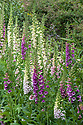 Foxgloves in the Solar Garden, Great Dixter, late May.