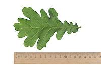 Stiel-Eiche, Eichen, Stieleiche, Eiche, Quercus robur, Quercus pedunculata, English Oak, pedunculate oak, Le chêne pédonculé. Blatt, Blätter, leaf, leaves