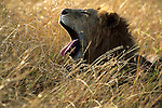 Yawning Lion (Panthera leo) laying in the grass. Serengeti National Park - Tanzania