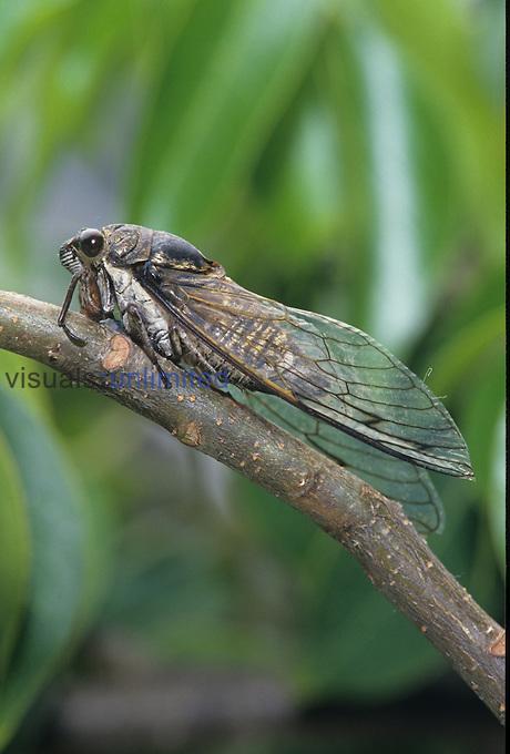Annual Cicada (Tibicen), Florida, USA.