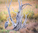 A great blue heron stands by a dead tree in Yellowstone,