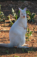 Cute White Wallaby standing in field.