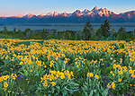 Grand Teton National Park, WY: A field of balsamroot (Balsamorhiza sagittata) overlooking the valley floor and Teton Range at dawn