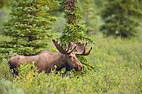 Bull moose feeds in the tundra and taiga, Denali National Park, Interior, Alaska