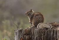 Rock squirrel (Spermophilus variegatus) Adult sitting on a rotting stump.<br /> Near Wenas Road, Yakima County, Washington State<br /> 5/4/2009