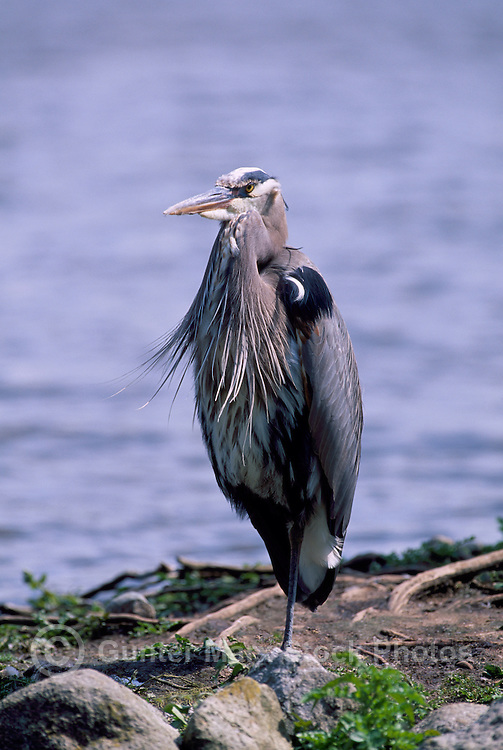 Great Blue Heron (Ardea herodias) standing on Shore beside Lake