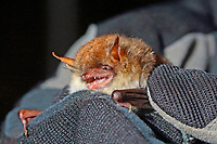 Fransen-Fledermaus, in Hand wird untersucht, Forschung, Fledermausschutz, Fledermaus-Schutz, Fransenfledermaus, Myotis nattereri, Natterer's bat, Le murin de Natterer, vespertilion de Natterer