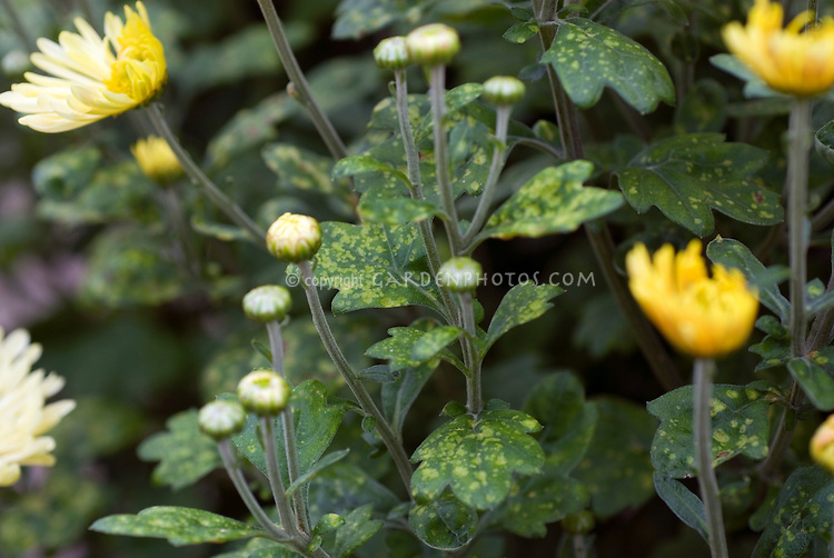 Chrysanthemum disease problem White rust on garden plant leaves foliage
