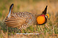 00842-04215, greater Prairie-chicken, Tympanuchus cupido, male, on booming ground, booming, mating display, Prairie Ridge State Natural Area, Marion County, Illinois, IL, grouse, grassland habitat, communal lek, orange sacs at throat, eats seeds, ground nester, ground forager, bird, ornithology, birding, bird photography, life, alive, egg-laying, oviparous, avifauna, fauna, vertebrate, North American, horizontal
