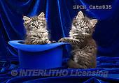 Xavier, ANIMALS, REALISTISCHE TIERE, ANIMALES REALISTICOS, cats, photos+++++,SPCHCATS835,#A#