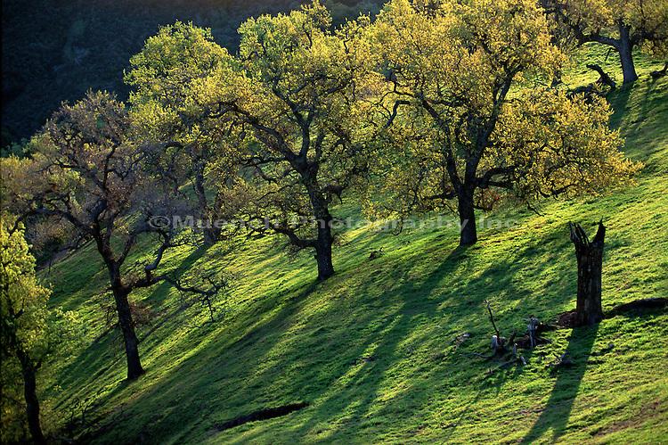 Oak trees Los Padres NF  CALIFORNIA