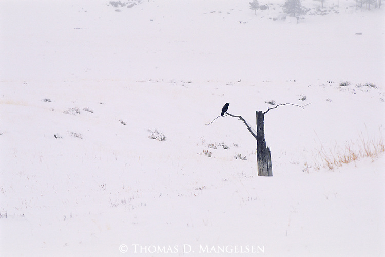 With calls echoing through the silent landscape of snowfall and clouds, a single raven's voice calls out to others.