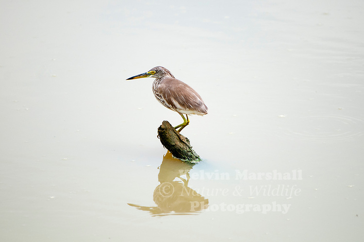 Indian pond heron or paddybird (Ardeola grayii) is a small heron. It is of Old World origins, breeding in southern Iran and east to Pakistan, India, Burma, Bangladesh and Sri Lanka. Bundala National Park - Sri Lanka.