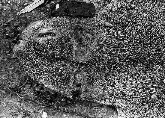 Roadkill squirrel.<br />