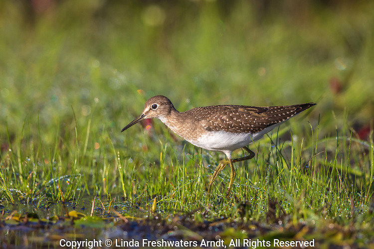 Solitary sandpiper in a wetland in  northern Wisconsin.