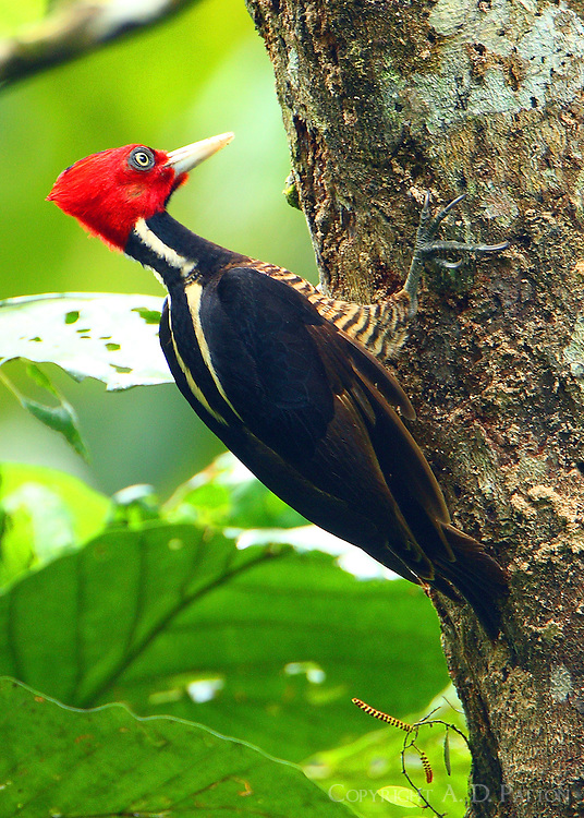 Male pale-billed woodpecker