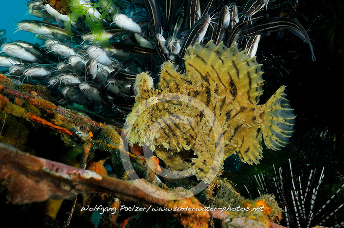 Antennarius hispidus, Zottiger Anglerfisch, Kroetenfisch, Shaggy anglerfish, frogfish,Secret Bay, Gilimanuk, Bali, Indonesien, Indopazifik, Indonesia, Asien, Indo-Pacific Ocean, Asia