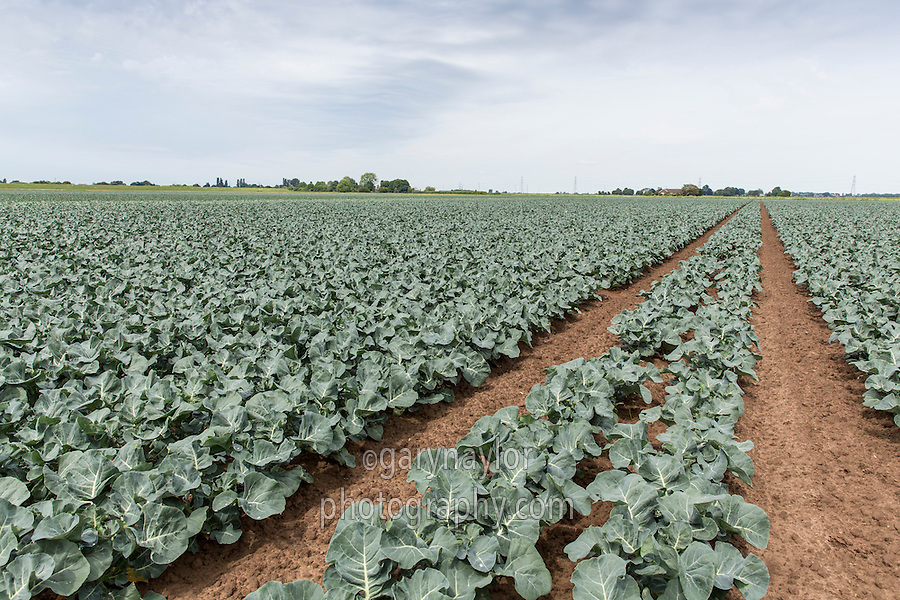 Spring crop of Calabrese - May, South Linclonshire