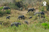 Herd of african elephants(Loxodonta africana), side view (Licence this image exclusively with Getty: http://www.gettyimages.com/detail/200503585-001 )