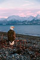 Eagle, Bald Eagle, Haliaeetus leucocephalus, Alaska,.Kachemak Bay