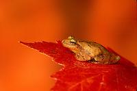 Spring peeper, Hyla crucifer, frog sitting on maple leaf