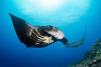 reef manta ray, Manta alfredi, Manta Reef dive site, Kadavu, Fiji, South Pacific Ocean