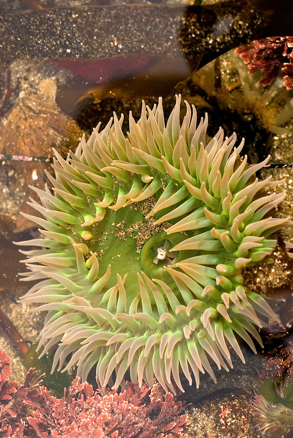 Close-up of sea anemone in tide pool, Shi Shi Beach, Olymipic National Park Coastal Strip